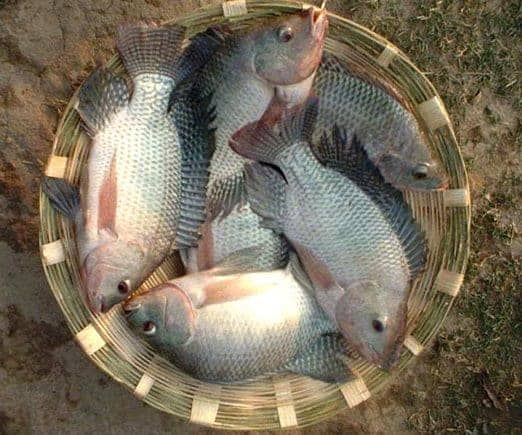 Catching or Harvesting Tilapia
