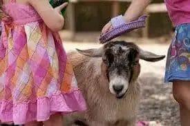 Understanding the goat's behavior
