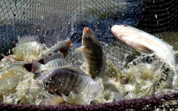 How to start tilapia fish farm    Grow Tilapia