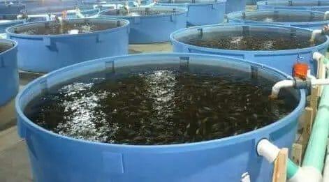 tilapia fish pond
