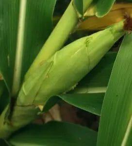 baby-corn