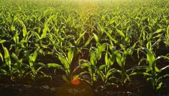 grow baby corn