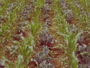 intercropping method in baby Corn farming