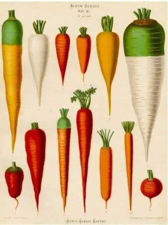 Carrots Root Variations
