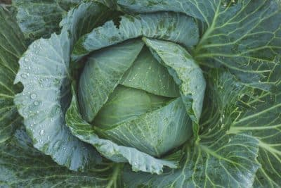 how to start cabbage farming