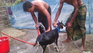 Black Bengal Goat Care