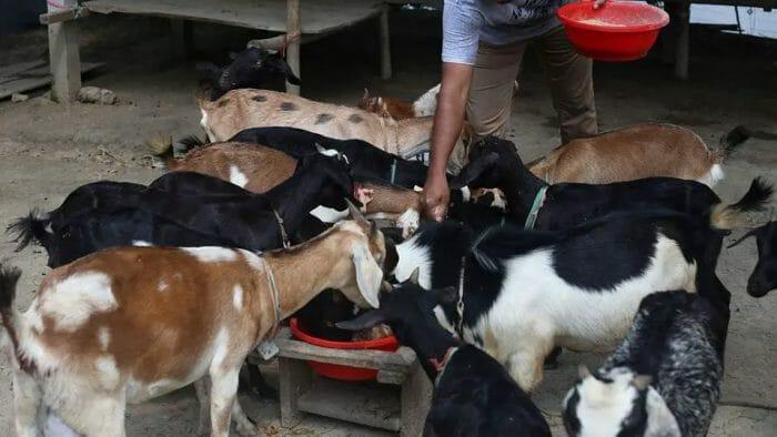Start black bengal goat farming