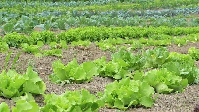 Organic Vegetable Planting Method