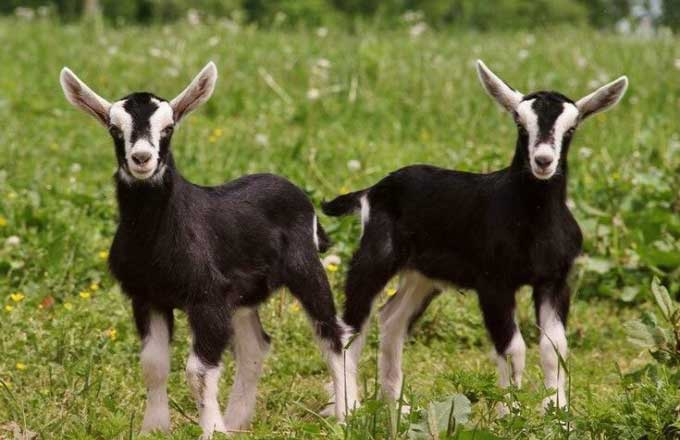 Start Black Bengal Goat Farming | Best Process