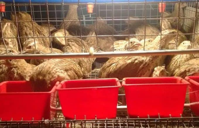 General Feeding Process in an Organic Quail Farm: