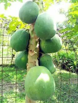 Grow Papaya Tree From Seeds