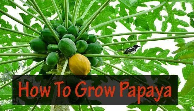 Papaya Farming