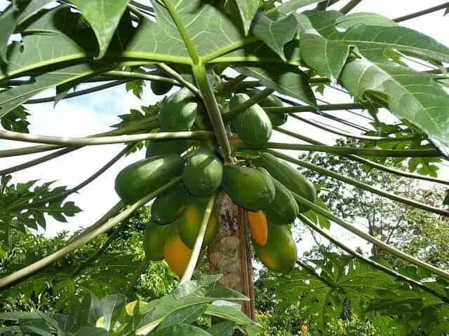 How to Care Papaya Tree