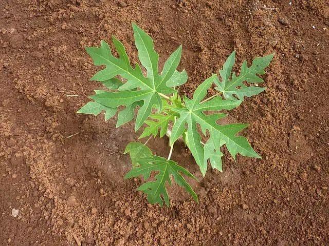 planting-papaya-seedlings