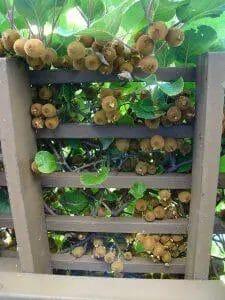 kiwi fruits varieties