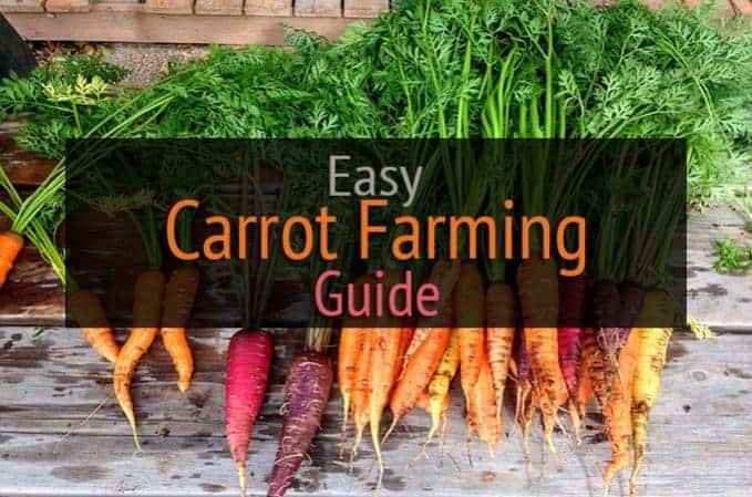 carrot farming beginners guide
