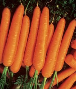 nantes carrot varieties