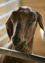 what do goats eat