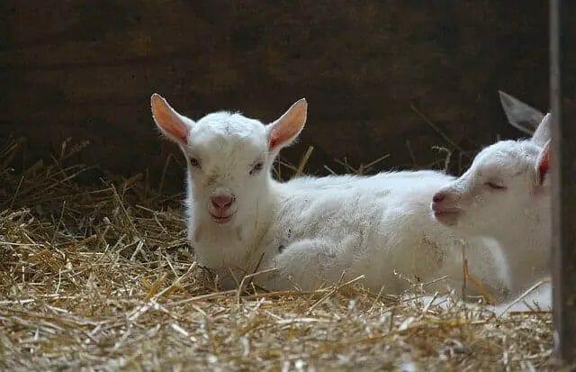 winter goat care