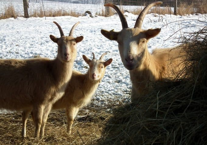 goats care in the winter