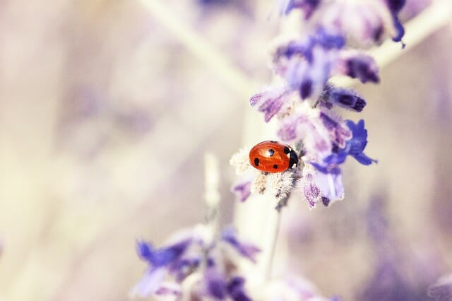 lavender bug