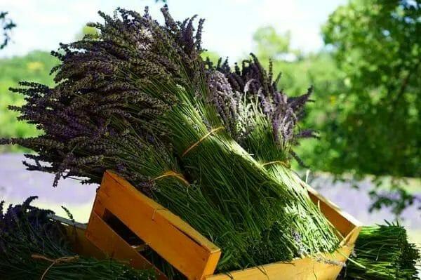 lavender harvesting tips