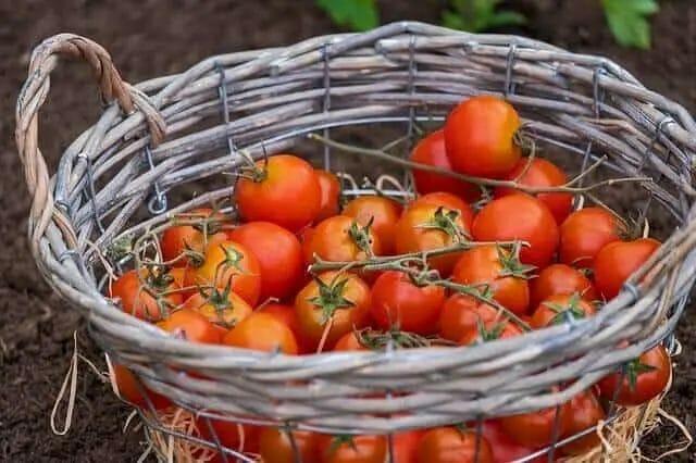 Tomato harvesting Tips