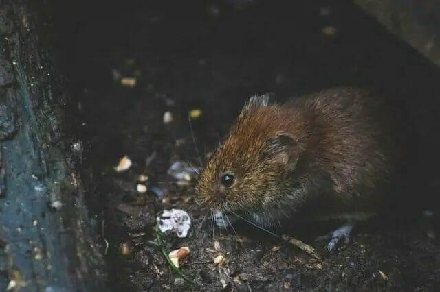 Backyard Rat
