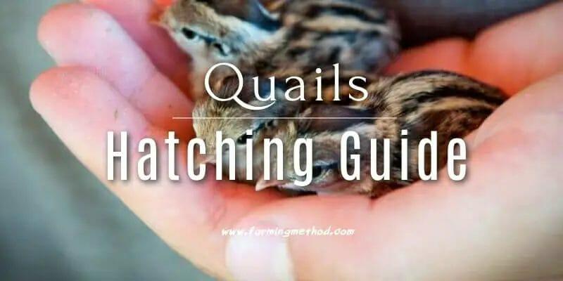 Quail Hatching Guide