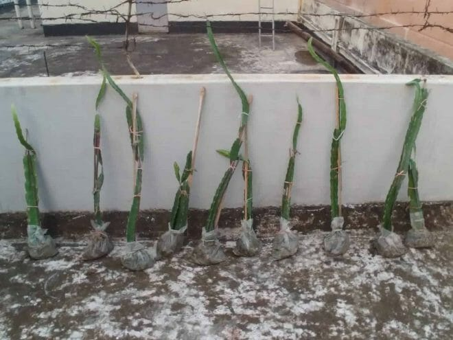 dragon plant stem for planting in pots 2