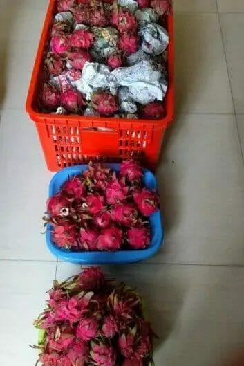 harvesting dragon fruits