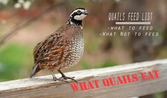 Quails Feed- What Quails Eat & Don't Eat
