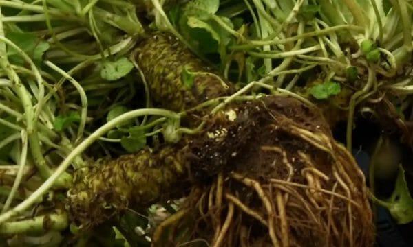 Harvesting Wasabi