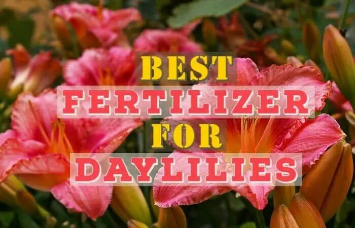 Best Fertilizer for Daylilies
