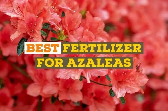 Best Fertilizer for Azaleas- Grow and Bloom