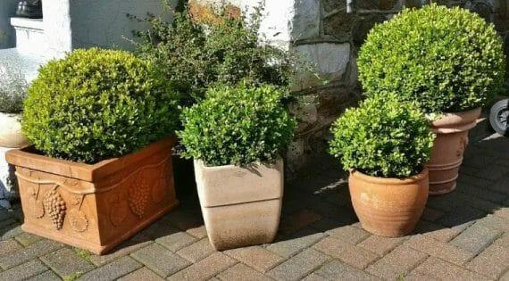 Boxwood Fertilizer Requirement