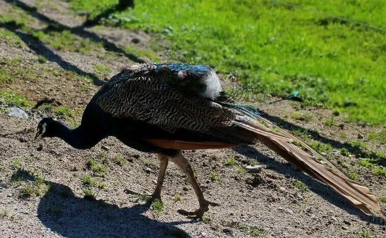 Feeding Peafowl
