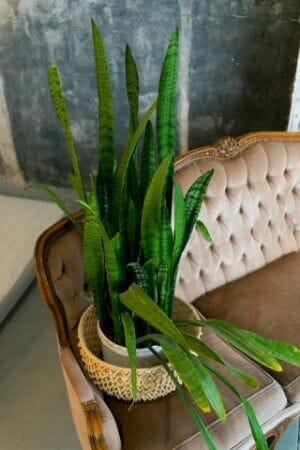 Guide to Use The Soil and Plant Snake Plants
