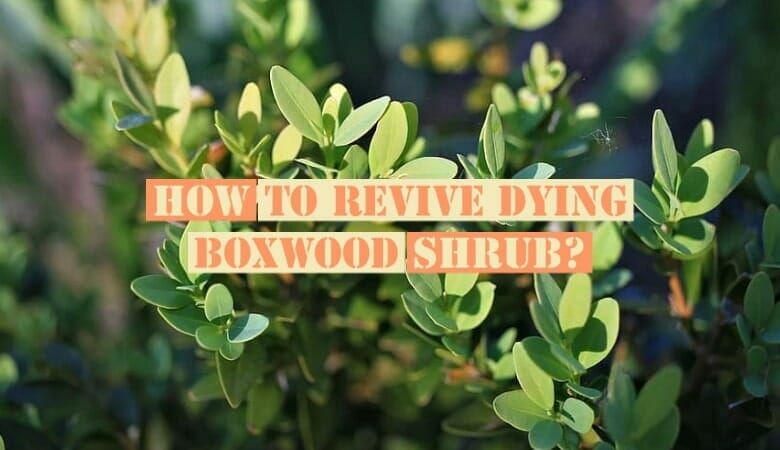 How to Revive Dying Boxwood Shrubs?