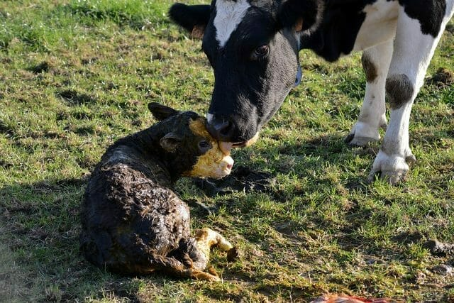 Caring for Cows and Newborn Calves During Birth