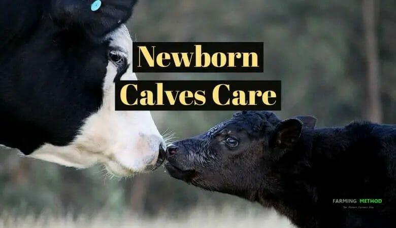 Newborn Calves Care in 3 Steps