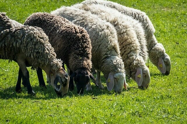 What does a Sheep Eat - Daily Diet List