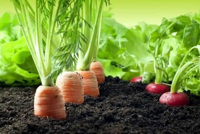 Planting Carrot and Radish