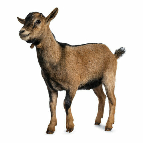 Pygmy Goat - Best For Meat
