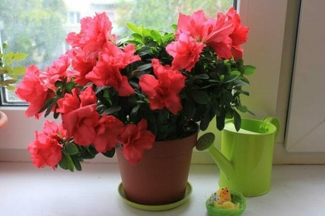 How to Care For Potted Azaleas (indoor)