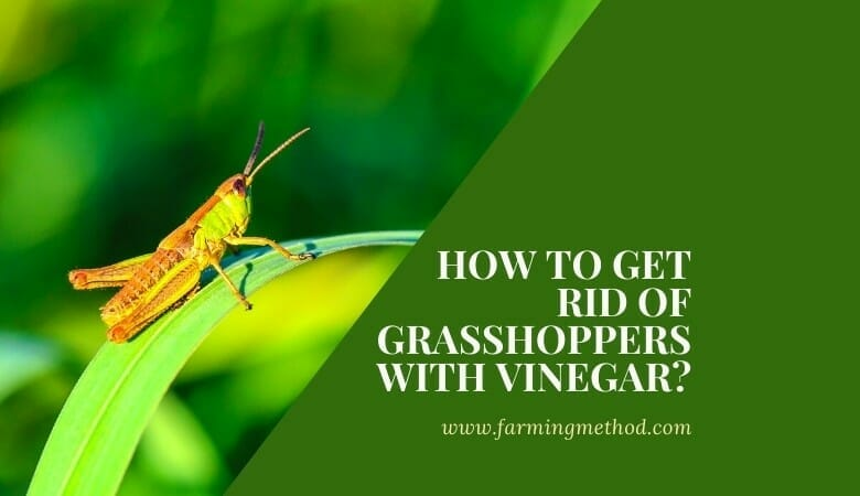 How to Get Rid of Grasshoppers with Vinegar