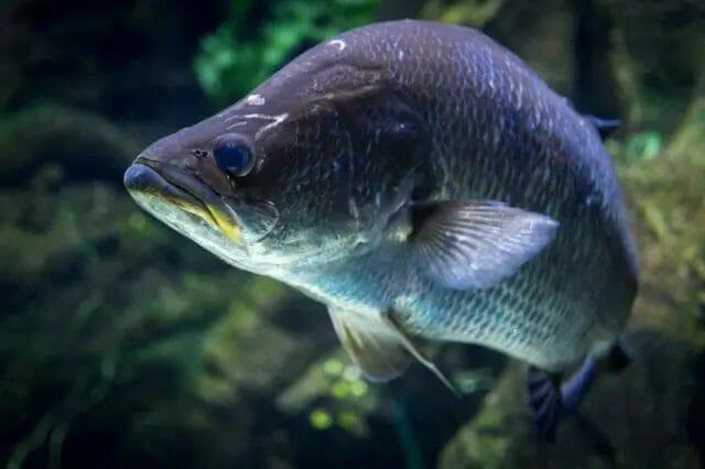 Barramundi   Small aquaponics fish