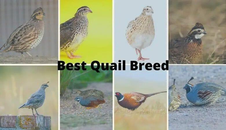 Best Quail Breed
