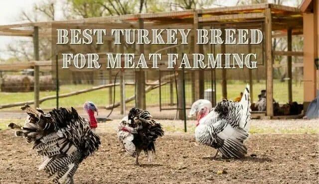 Best Turkey Breed for Profitable Farm Business