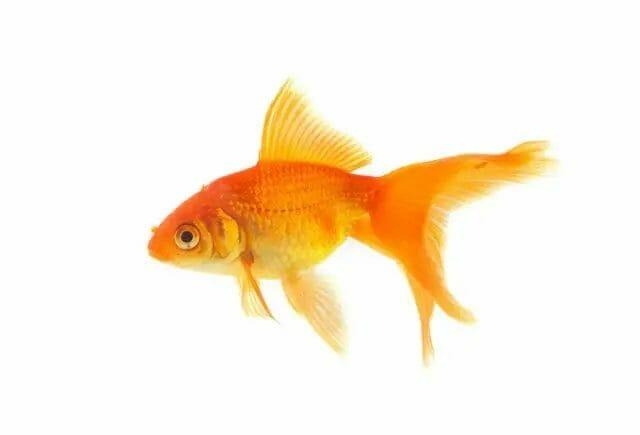 GoldFish Profitable Fish for small aquaponics system